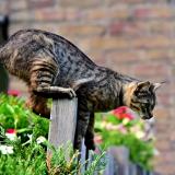 Kat op een hek van een tuin