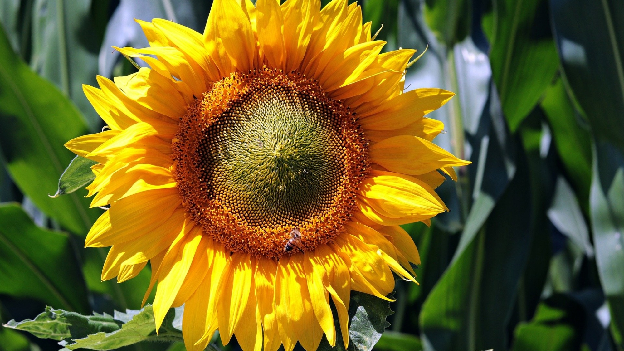 Zonnebloem kweken